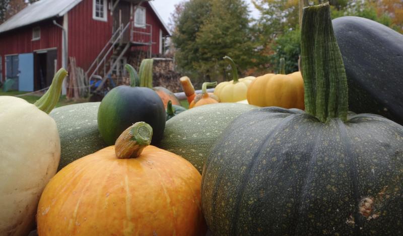 Legumes-Knalten